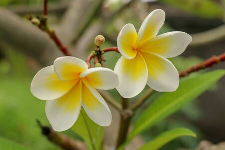 Plumeria, common name Frangipani is a genus of flowering plants of the family which includes Dogbane: the Apocynaceae. white and yellow frangipani flowers with leaves in background.