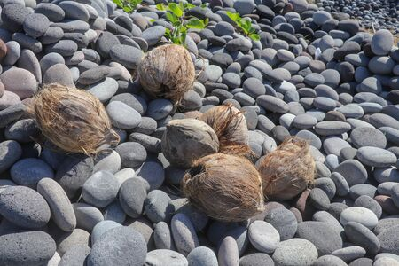 Coconuts on a pebble beach. Coconut palm fruits on the beach. Brown coconuts thrown from the sea to a stony beach. Sunbeams beach.
