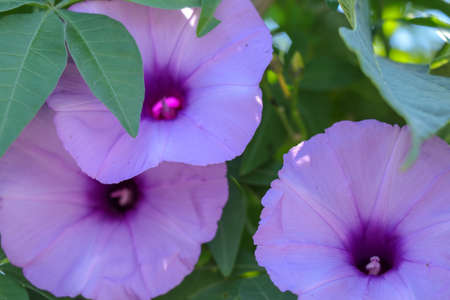 Brightly lavender flower Ipomoea cairica close-up. Pink flower o