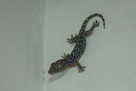 Tokay gecko - Gekko gecko in front of a white background. Imagens