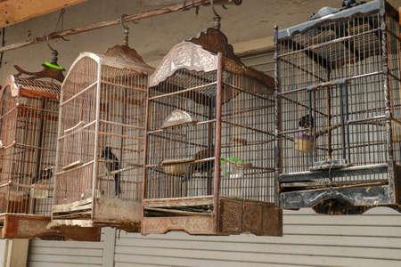 Murai batu is asian cage bird that has beautiful feathers and beautiful sound