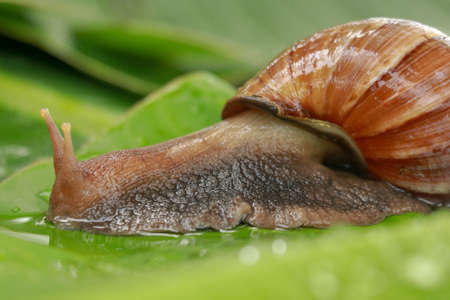 Side view of Achatina Fulica between water drops. A large adult snail climbs on a wet banana leaf in a tropical rainforest. Giant snail crawling
