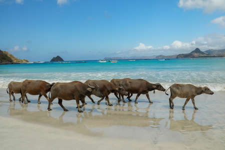 In addition to the beautiful beach views, selong belanak beach also has a unique view, which is a buffalo that always crosses every morning and evening