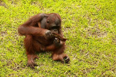 Orangutan sitting on the grass and holding the bark of a tree. A young orangutan playing with a piece of wood Banque d'images