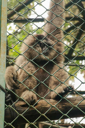 Image of Silvery gibbon in the cage. Lonly gibbon behind the Cage in the park, Bali, Indonesia. Hylobates moloch in zoo cage. Beauty and loveliness of Gibbons