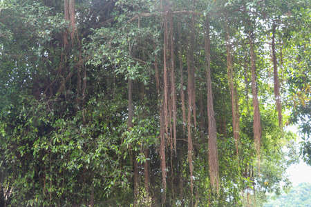 A Tree With Long Vines in jungle, Bali, Indonesia.
