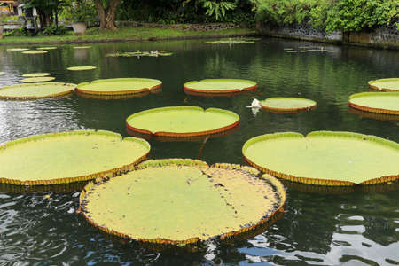 selective focus of big lotus tray, big leaf. Many giant victoria flowers, huge lotus leaves blooming, victoria water lily floating on the surface of a pond, beautiful tropical nature in the garden