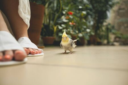 A beautiful little parrot next to womens feet in bath Slippers. Bird on a blurred background of green flowers.