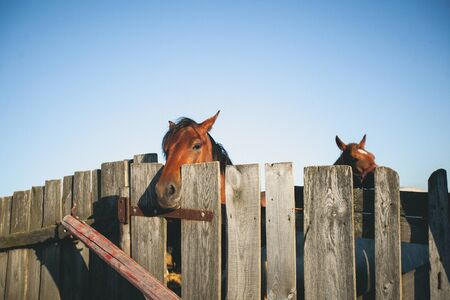 Brown horse in a fenced pen on the farm, over the fence, looking into the camera. Young curious Mare on a Sunny day.