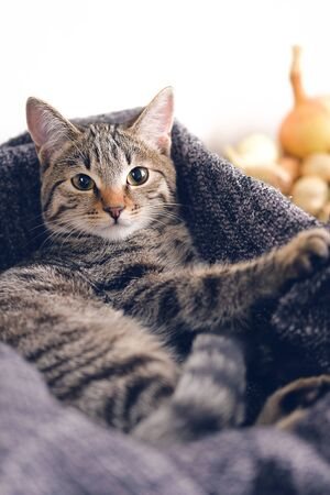 Home cat lying in a basket with a knitted blanket. Stok Fotoğraf