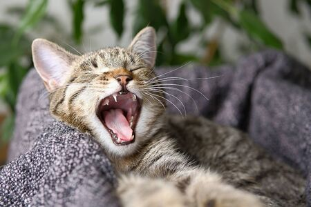 The cat yawns. The kitten baby teeth fall out. Stok Fotoğraf - 133141806