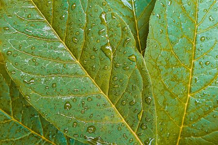 Green leaves of a plant or shrub, in dew, water drops or after rain. Foliage structure, close-up. Textured background. 写真素材