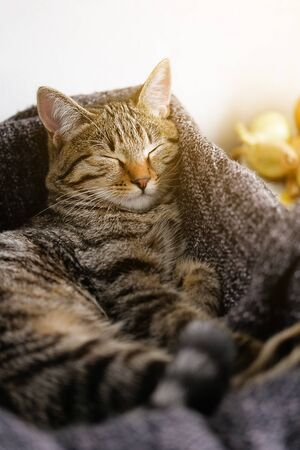 Domestic cat lies and sleeps in a basket with a knitted blanket. Stok Fotoğraf - 133141816