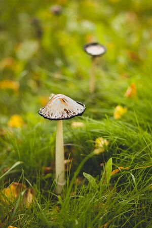 A poisonous dangerous inedible mushroom grows in green grass. Blurred background. Stok Fotoğraf - 134740722