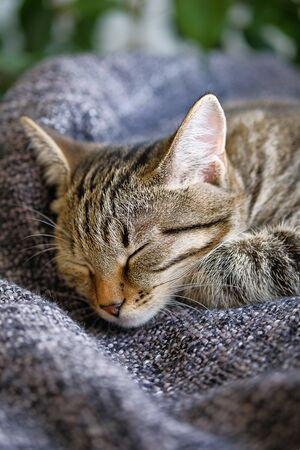 Domestic Cat Lies And Sleeps On A Knitted Blanket, Comfortably Resting His Head On His Paw.