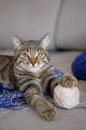 A House Cat Is Lying On An Unbound Knitting Project Or A Wool Sweater, Looking At The Camera. The Kitten Is Playing With A Ball Of Yarn, Put His Paw On A Skein Of Thread. Selective Focus.