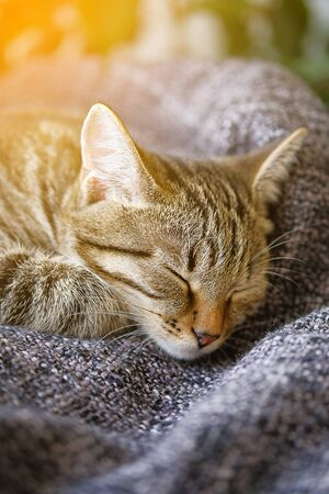 A Domestic Cat Lies And Sleeps On A Knitted Blanket, Comfortably Resting Its Head On Its Paw. Tinted Photo. Stok Fotoğraf