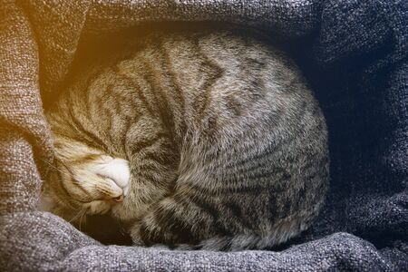 The House Cat Lies And Sleeps On A Knitted Blanket, Snugly Curled Up. Tinted Photo.