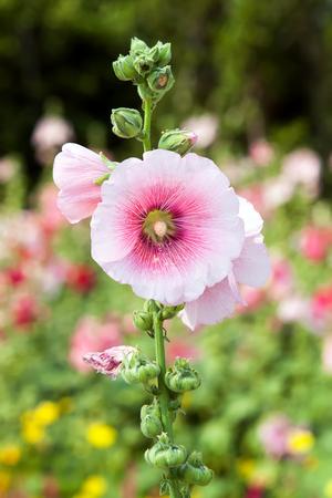rosids: Pink hollyhock flower in the garden