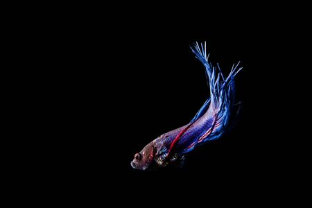 blue siamese: Blue Siamese fighting fish (Betta splendens) isolated on black background.