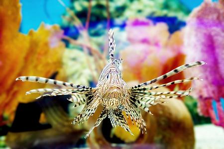 Exótica tropical firefish del diablo, o pez león común (Pterois millas), en el acuario.