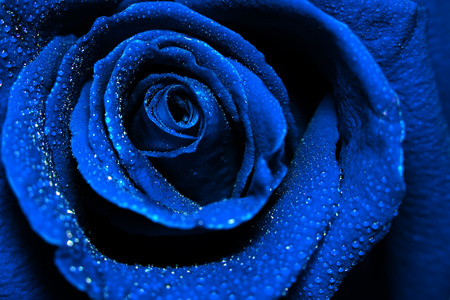 close-up view of beautiful dark blue rose with water dew drops