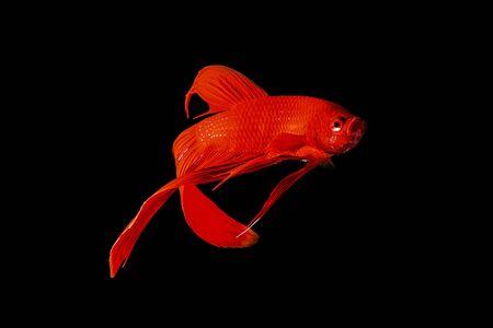 betta splendens: Red Siamese fighting fish (Betta splendens) isolated on black background. Stock Photo
