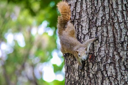 Eastern Gray Squirrel (Sciruus carolinensis)., large squirrel on the trunk of a tree on a green background., funny squirrel., curious squirrel.