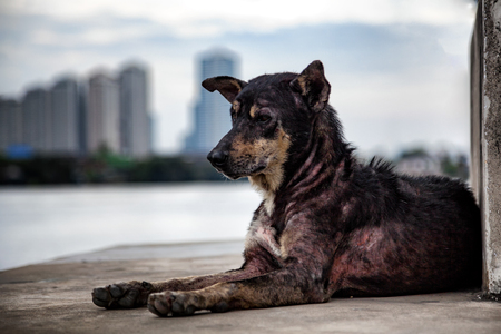Lonely stray mangy dog at pier near the river with blurred city background.