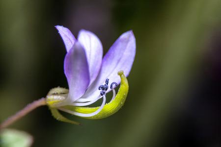 Close-Up of spider weed (Cleome rutidosperma DC.) Flower.