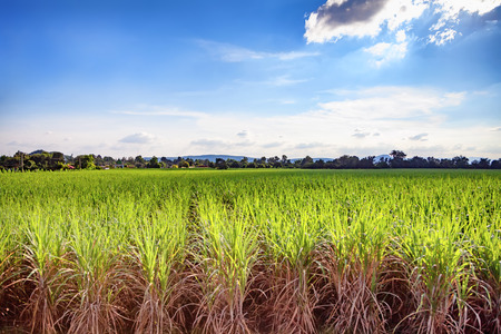 Beautiful green field of lush sugar cane growing and blue sky with light clouds., Soft focus due to long exposure shot. Stockfoto