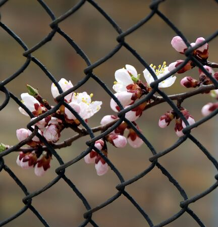 constraint: Branch of apricot with white flowers behind lattice