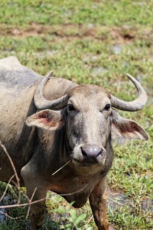 indian buffalo: Indian buffalo near Palolem beach, Goa, India.