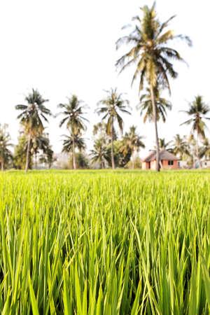 karnataka culture: Close up of green rice field