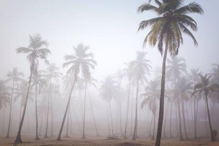 plantlife: Palms in morning fog in Arambol, Goa, India