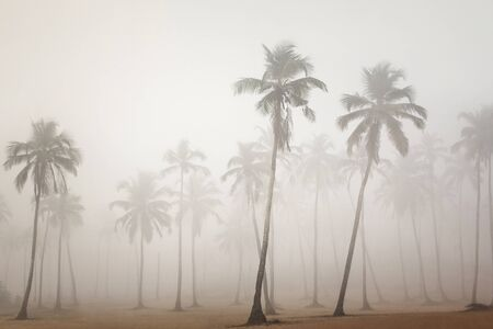 plantlife: Palms in morning fog in Arambol, Goa, India