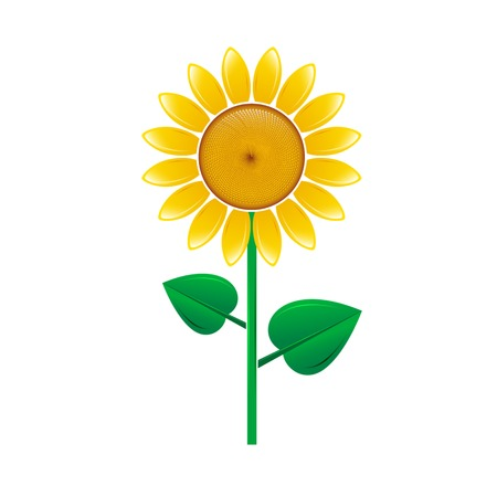 pedicle: Sunflower isolated on white background. Vector illustration.