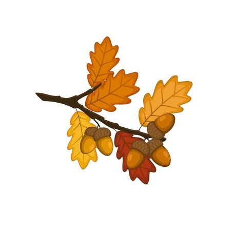 Autumn oak with yellow leaves and acorns. Vector illustration on white background. Illustration