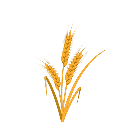 Ears of ripe yellow wheat on white background. Isolated Vector Illustration.