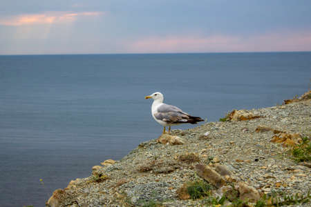 Seagull on the seashore. White bird stands on a rocky shore.