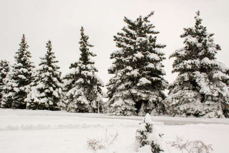 Winter landscape with snow-covered fir trees. Pines under the snow in winter
