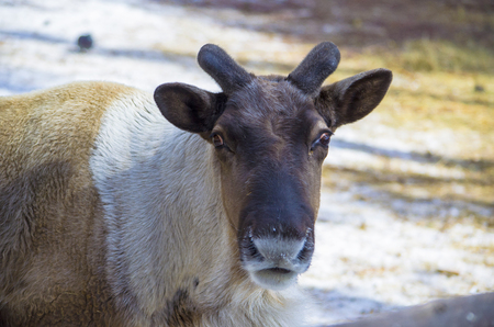 The young reindeer took off the horns. Look into the camera.