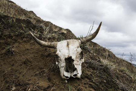 The skull of a dead bull lies on the damp ground. On the street gloomy weather.