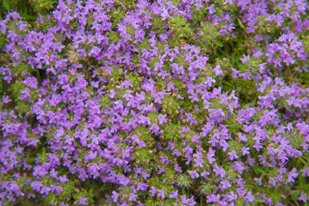 creeping plant: Beautiful floral background. Flowering thyme. Another name for this plant is creeping Thyme. Stock Photo