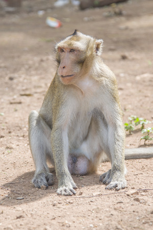 Rhesus macaque smiling and looking into the distance.