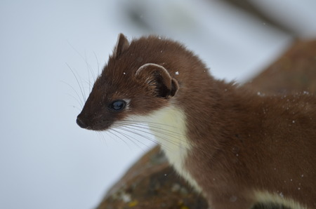 Small, curious weasel looks into the distance. The wildlife Sayan mountains.