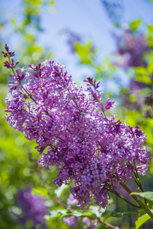 Flowering of lilac in late spring. Beautiful, fragrant, lilac purple flowers.