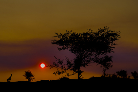 Sunset in the Savannah. Far background are the silhouettes of trees and animals.