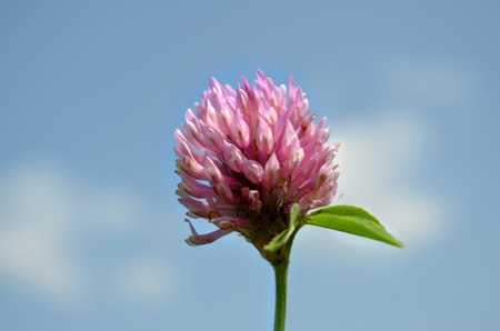 Wild flower a Weed is a herbaceous perennial plant of the family Asteraceae.