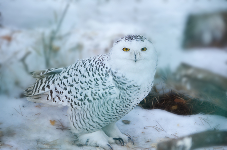 Snowy owl in the wild. Owl lurking in the woods. Wildlife of the North.
